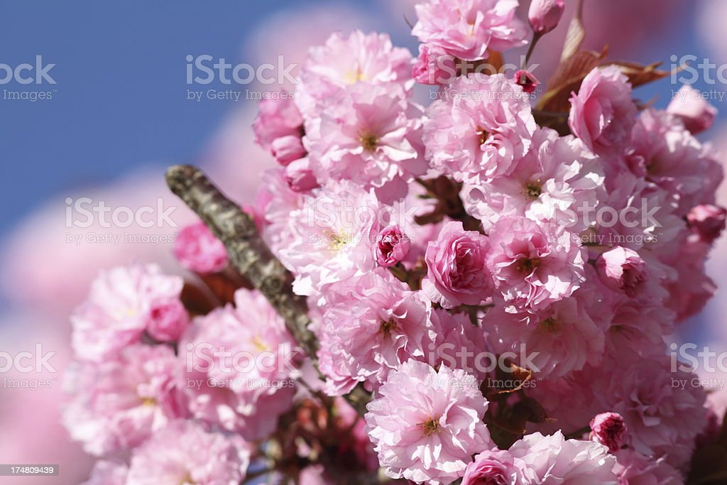 blooming oriental cherry tree royalty-free stock photo