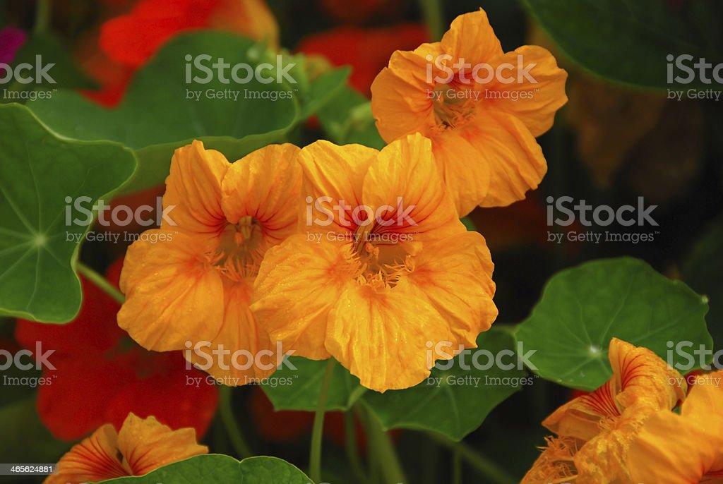 Blooming ornage garden Nasturtium. stock photo