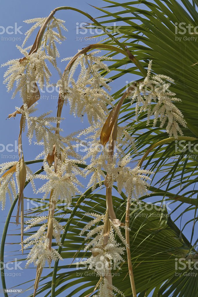 Blooming palm stock photo