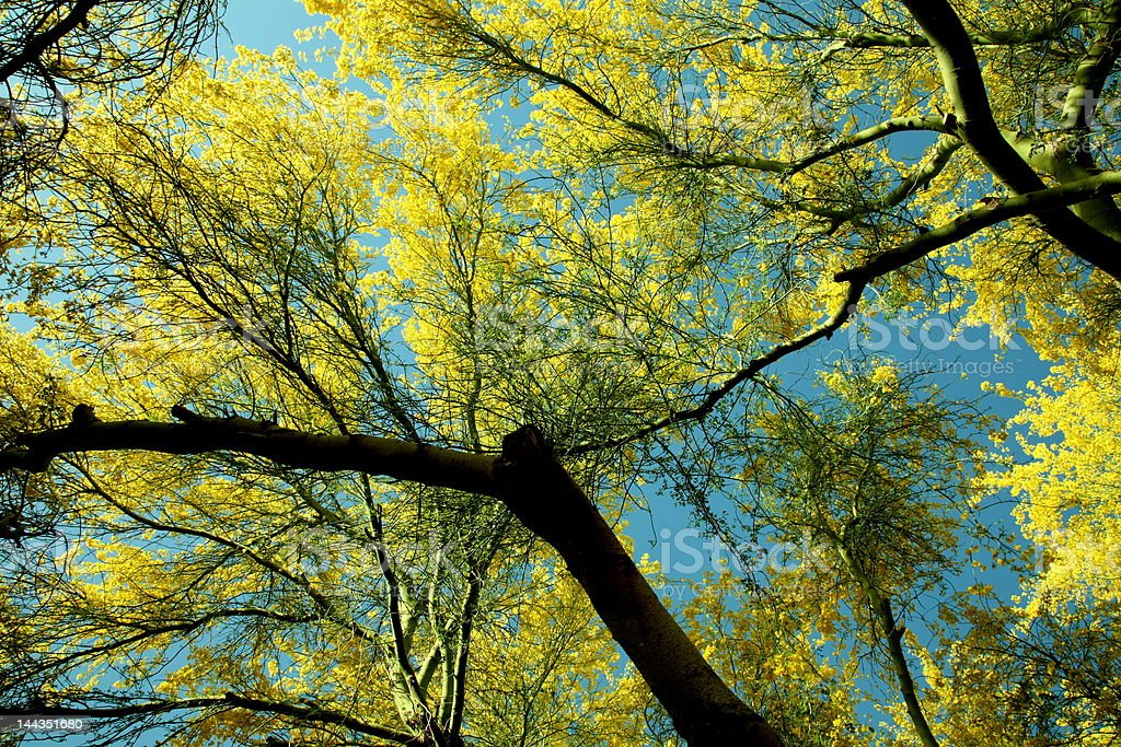 Blooming Paloverde Tree Canopy royalty-free stock photo