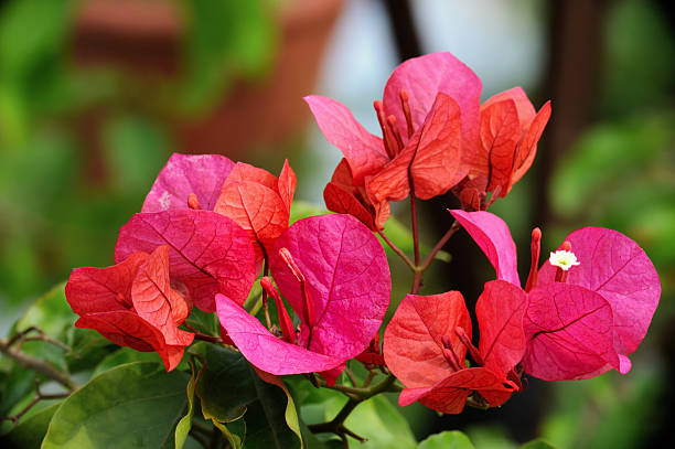 Royalty free bougainvillea or paper flower pictures images and blooming paper flowers stock photo bougainvillea border mightylinksfo