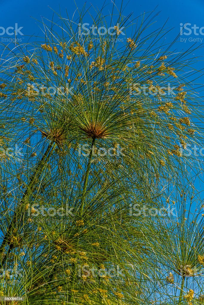 blooming papyrus plant (Cyperus papyrus) known as paper reed stock photo