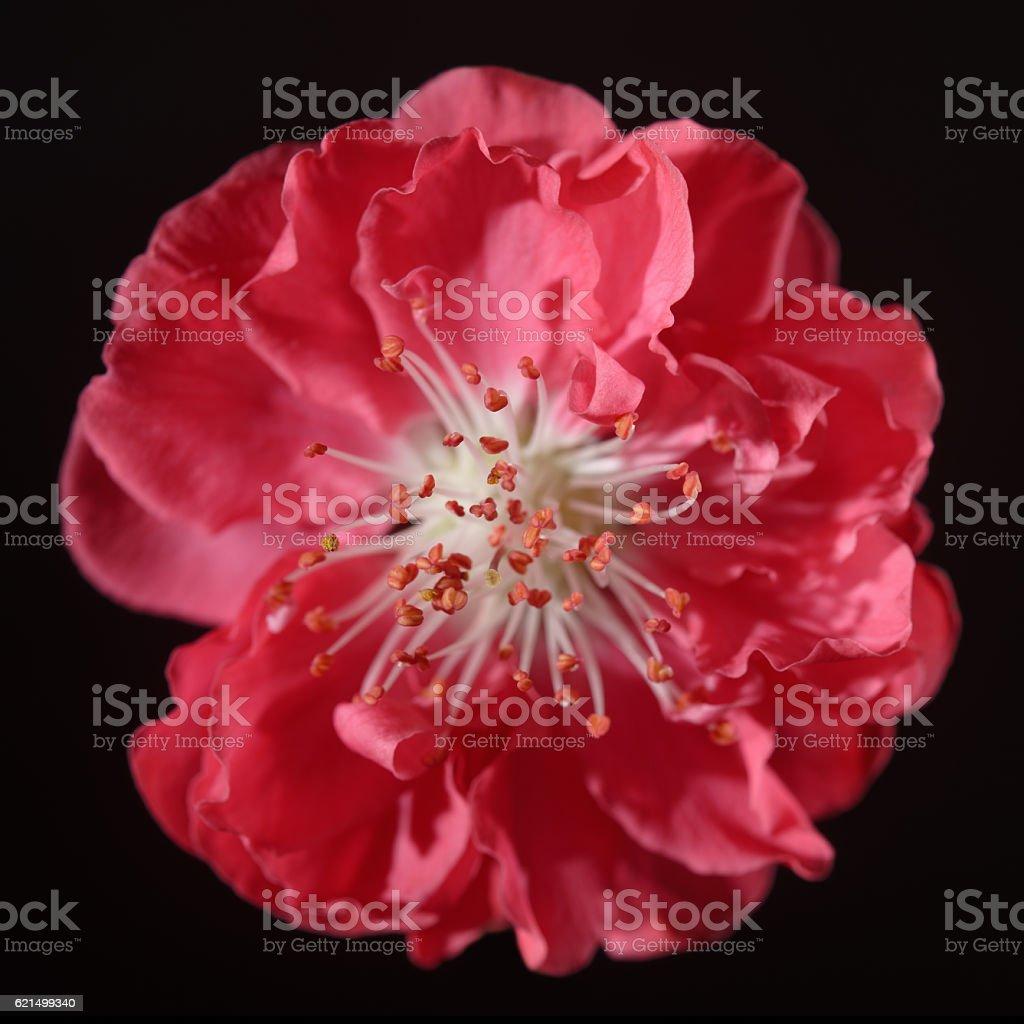 Blühende Pfirsich Blumen blühen Kopf Lizenzfreies stock-foto