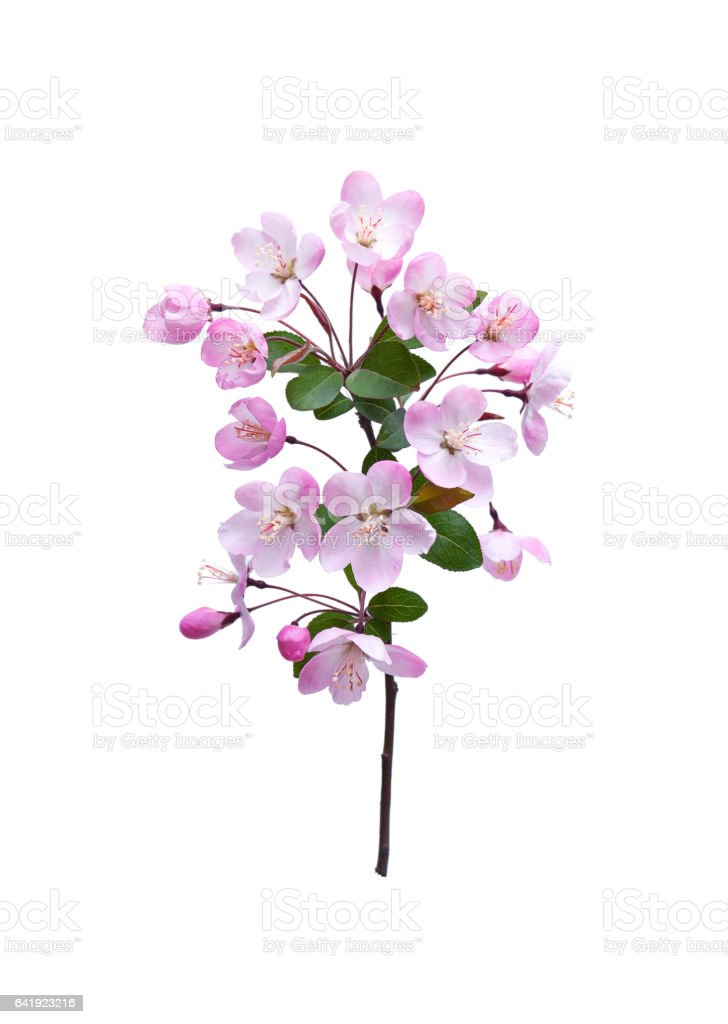 Blooming peach blossom in spring isolated on white background stock photo
