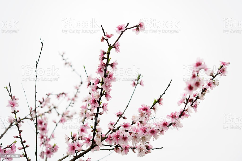 Blooming peach blossom twig in spring royalty-free stock photo