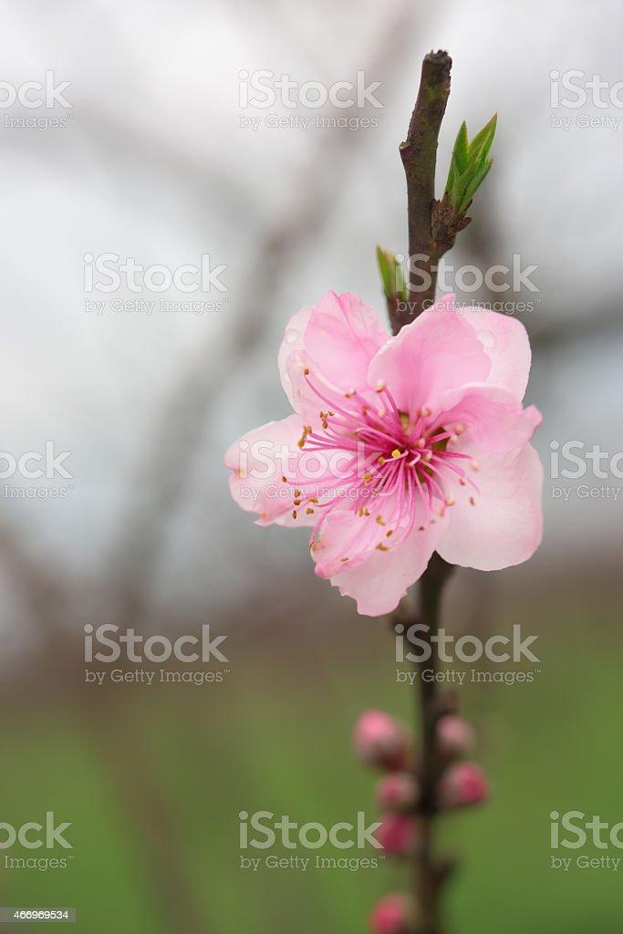 Photo De Blooming Fleur De Pecher Brindille Image Libre De Droit
