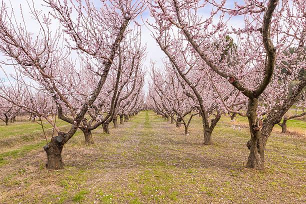 Blooming peach garden stock photo