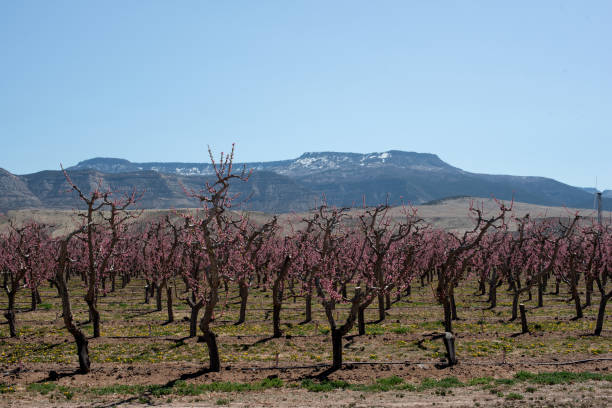 Blooming peach Orchard stock photo