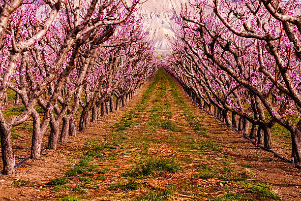 Blooming Peach Orchards in Palisades CO stock photo