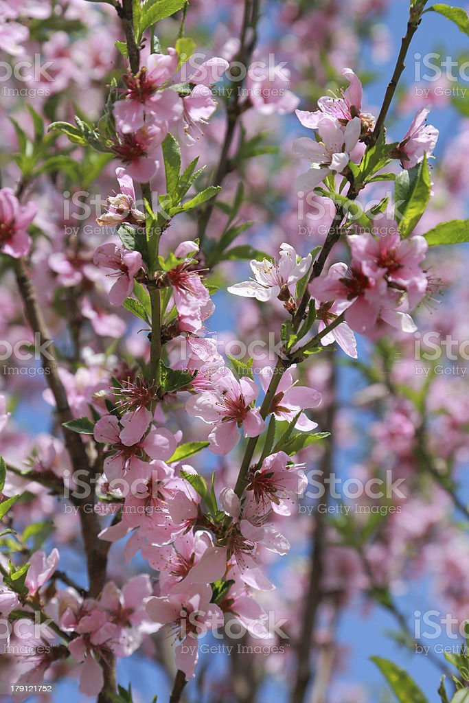 blooming peach, selective focus royalty-free stock photo