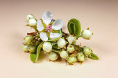 blooming pear branch on a pink background . High quality photo