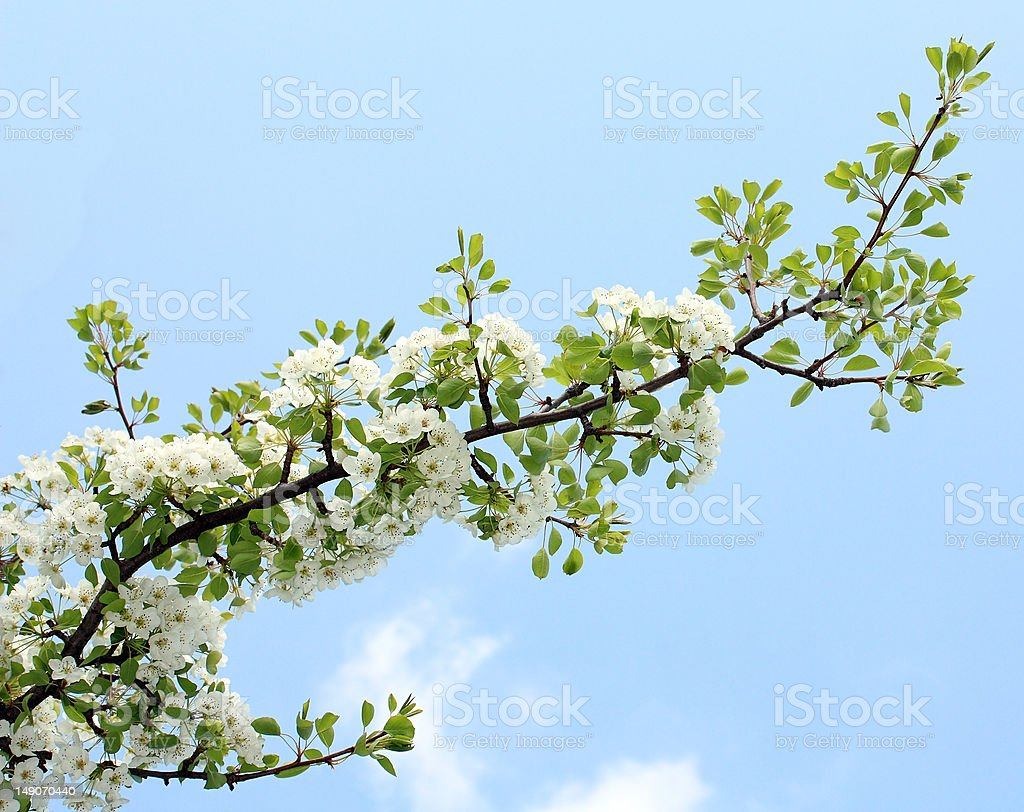 blooming pear branch royalty-free stock photo