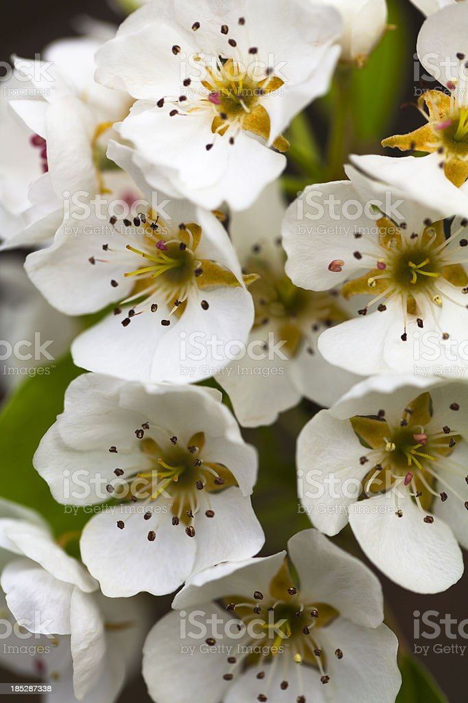 Blooming Pear Tree in Spring royalty-free stock photo