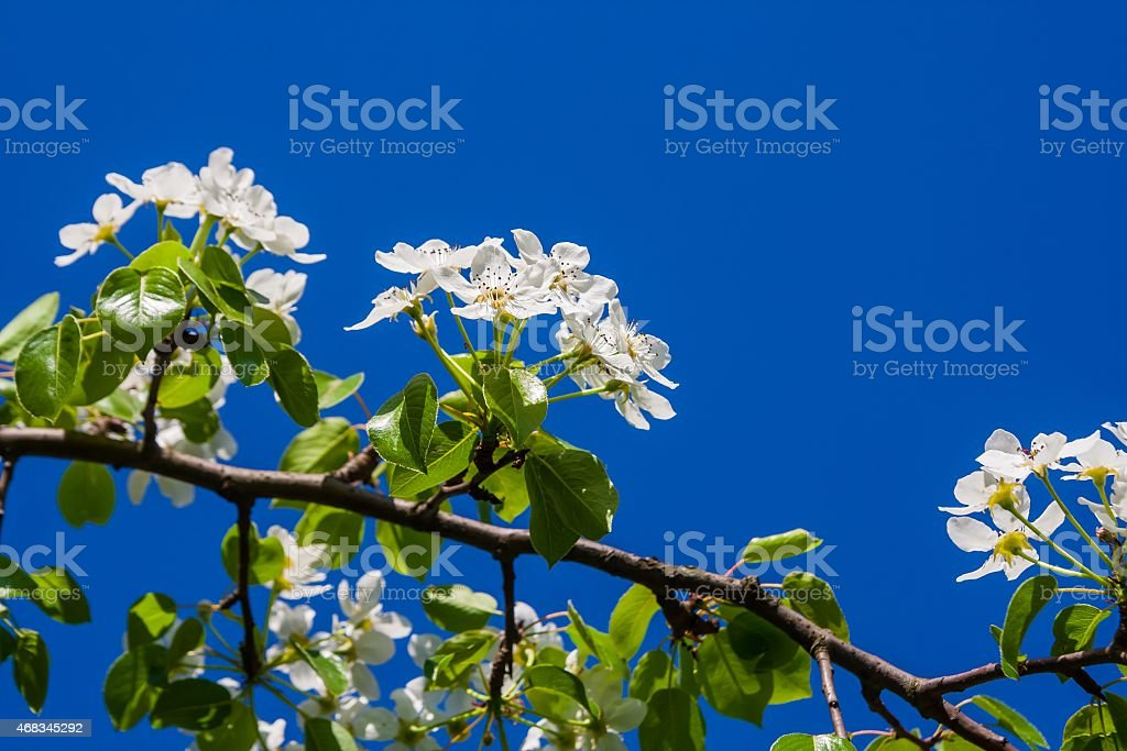 Blooming pear tree royalty-free stock photo