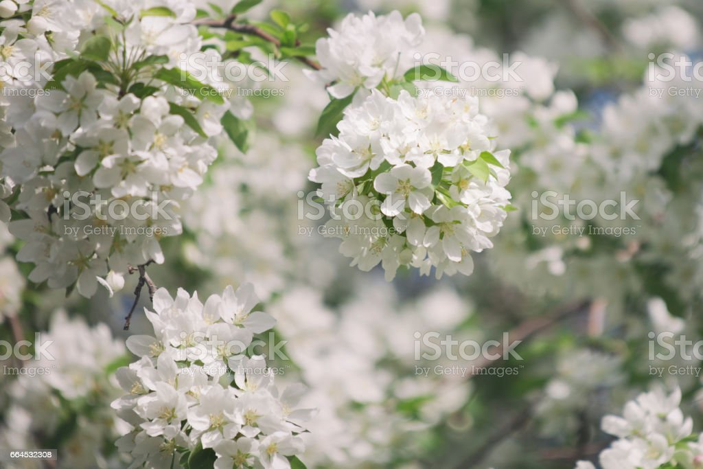 blooming pear tree. White flowers royalty-free stock photo