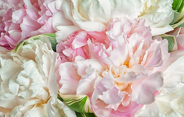 Florescendo peonies - foto de acervo