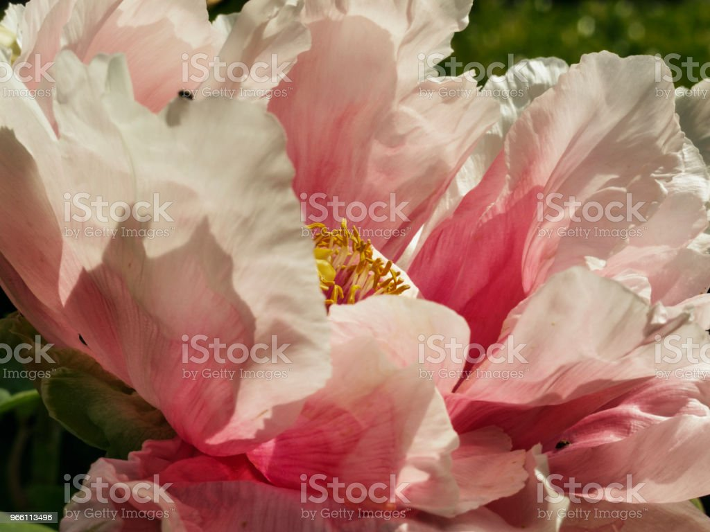 Blooming peony - Стоковые фото Без людей роялти-фри