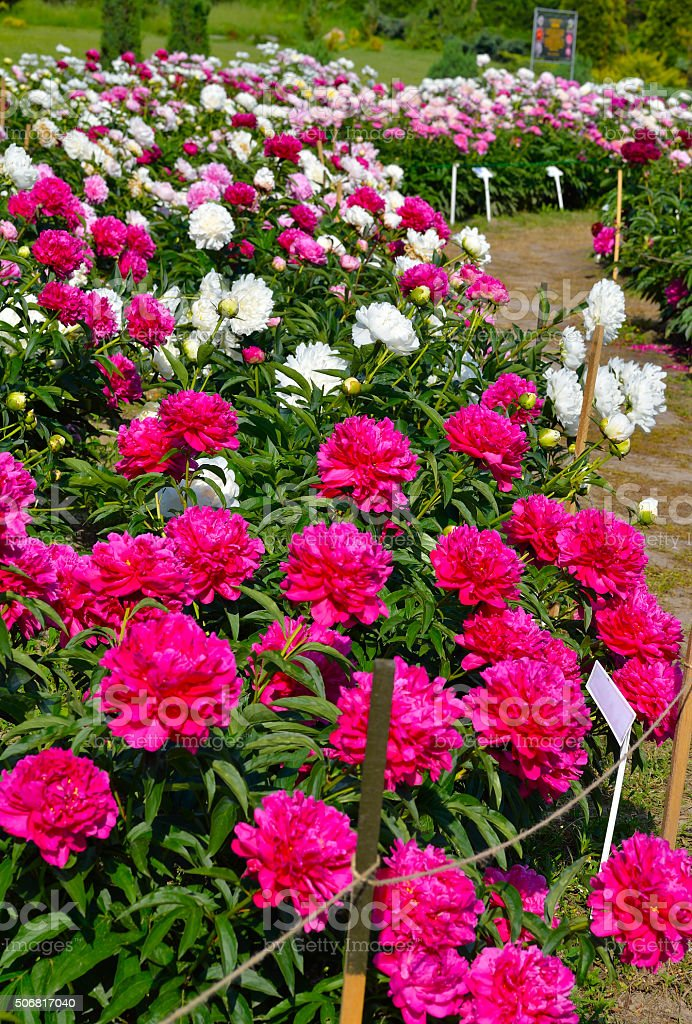 Blooming peonys purple, pink and  red  flowers. stock photo