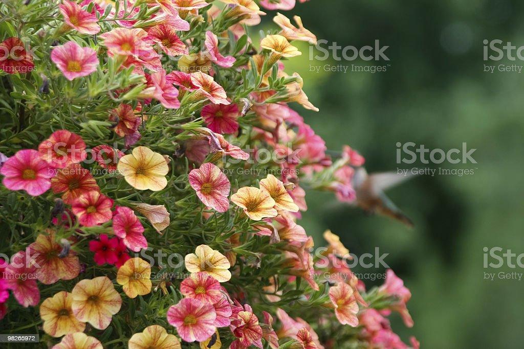 개화 petunias 및 벌새 굴절률은 배경 royalty-free 스톡 사진