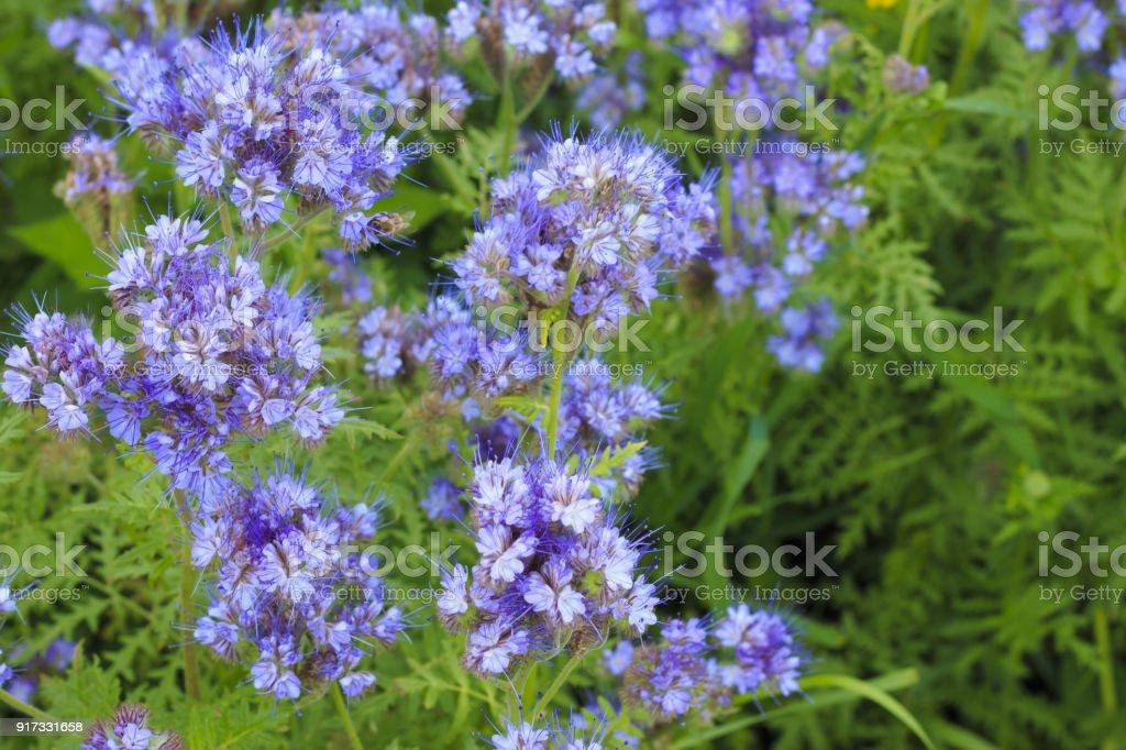 Blooming phacelia plants in July. stock photo