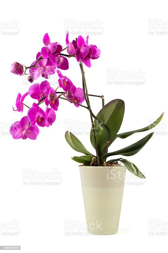 blooming Phalaenopsis Orchid stock photo