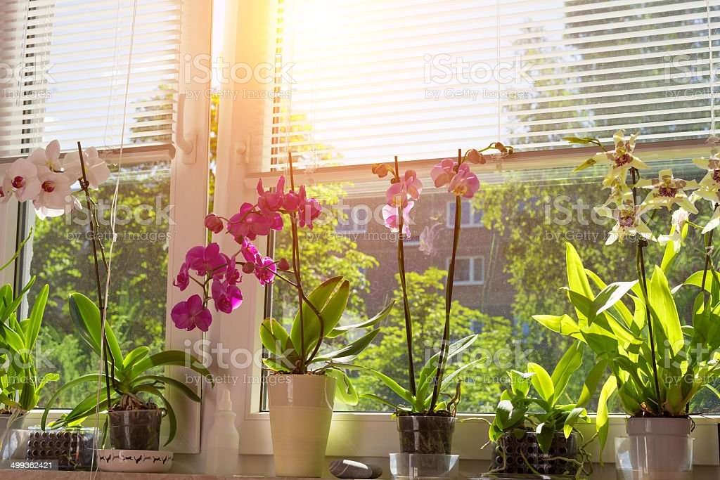 blooming Phalaenopsis Orchids on window stock photo