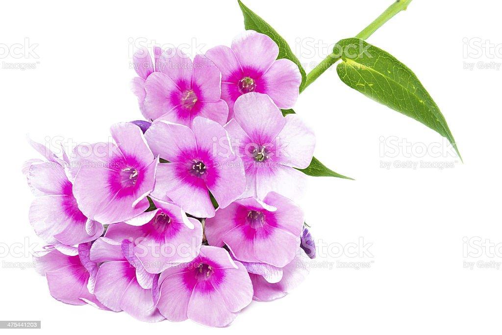 Blooming Phlox paniculata flowers stock photo