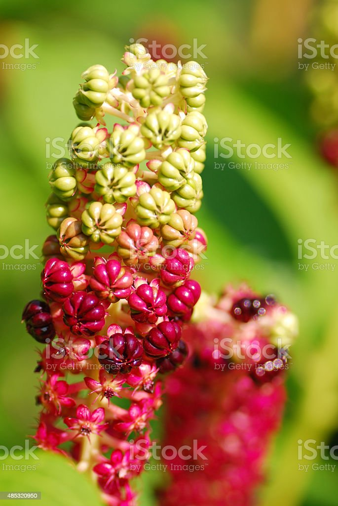 Blooming Phytolacca esculenta stock photo