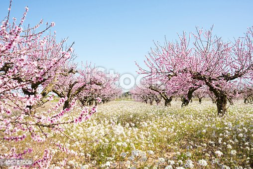 Blooming almond trees, spring is coming