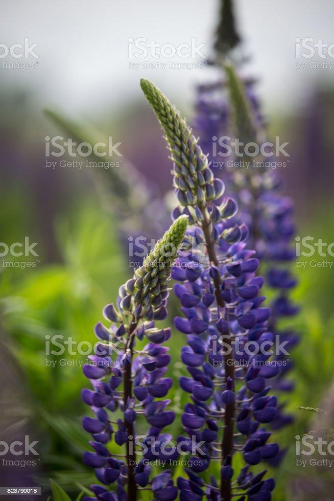 Floración color rosas y púrpuras altramuces en hábitat natural - foto de stock