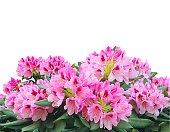 Blooming pink azalea or rhododendron flowers isolated on white background