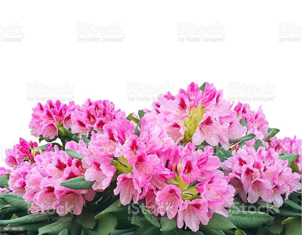 Blommande rosa azalea eller rhododendron blommor isolerad på vit bakgrund bildbanksfoto