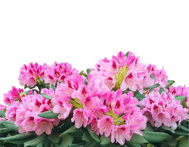 Blooming pink azalea or rhododendron flowers isolated on white background stock photo