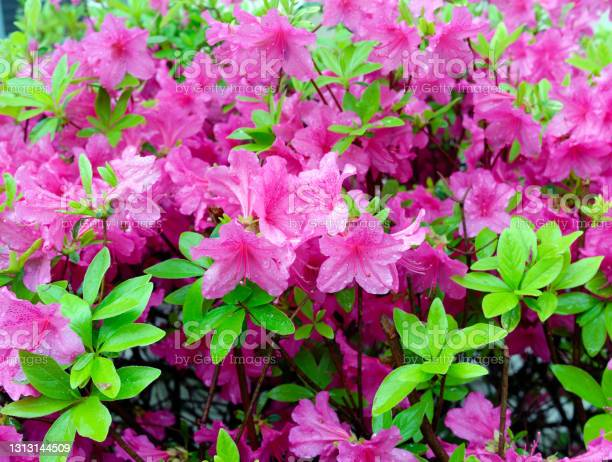 Photo of Blooming pink azalea