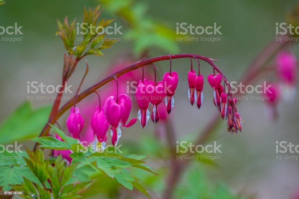 Floraison rose cœur saignant fleur dans le jardin au printemps photo libre de droits