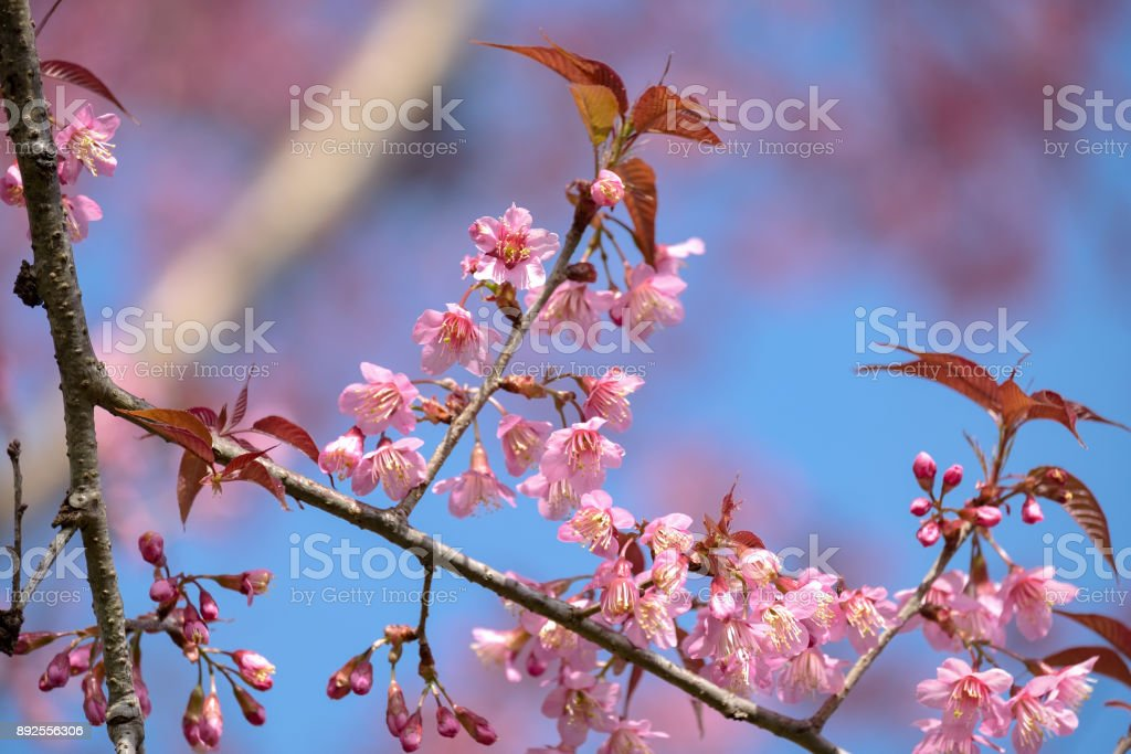 Blooming pink cherry blossoms flower in spring outdoors with soft focus background. stock photo