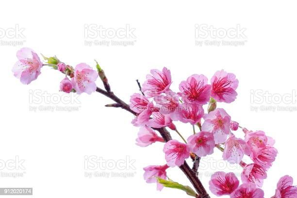 Blooming pink cherry blossoms flower in spring season isolated on picture id912020174?b=1&k=6&m=912020174&s=612x612&h=ejhkod5glgmdqz1lnnebcgyrgcoirqsiael9v5tlxvu=