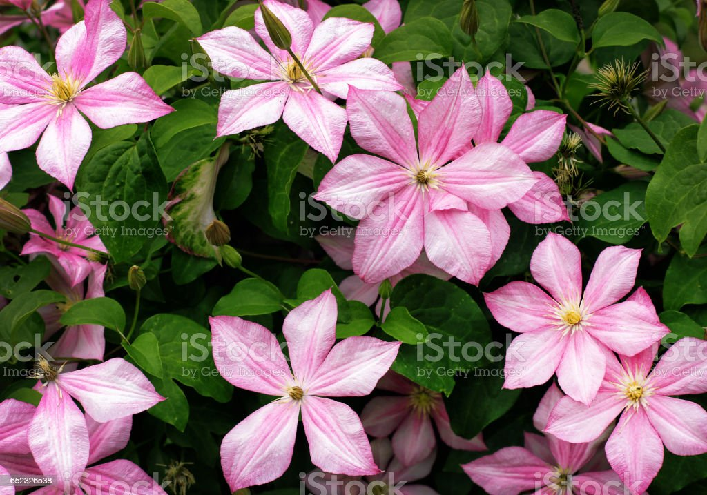 Blooming pink clematis on a background of green foliage stock photo