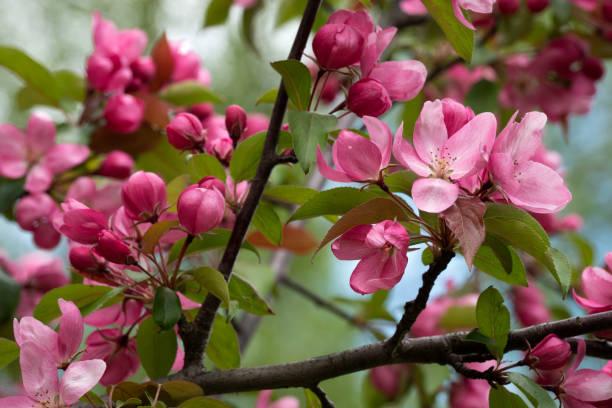 Blühende rosa Krabben Apfelbäume im Frühlingsgarten. – Foto