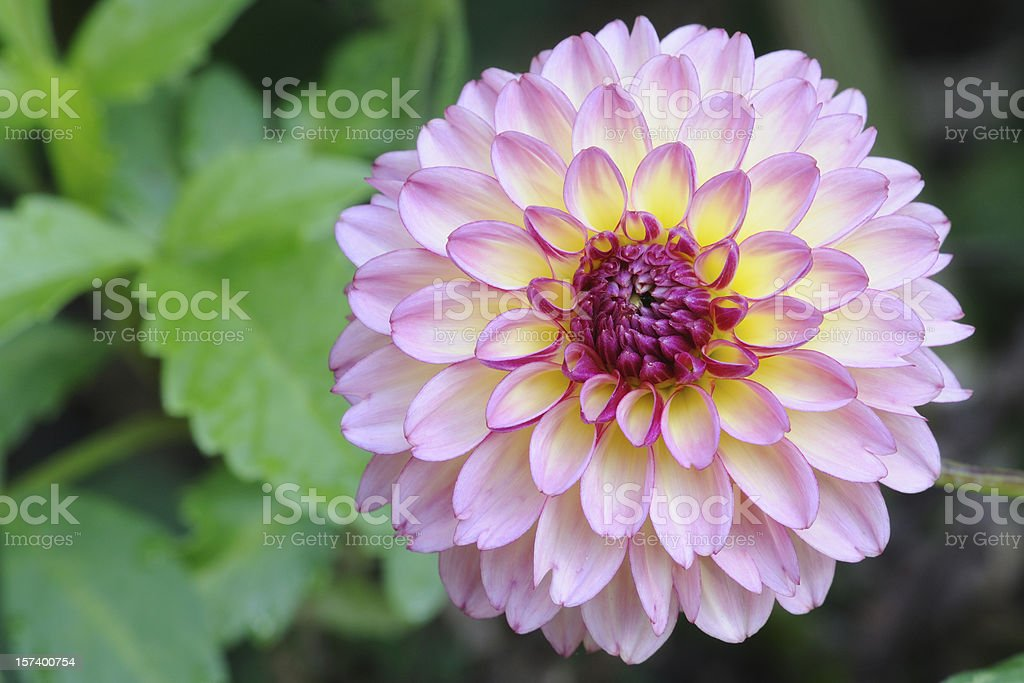 Blooming Pink Dahlia royalty-free stock photo
