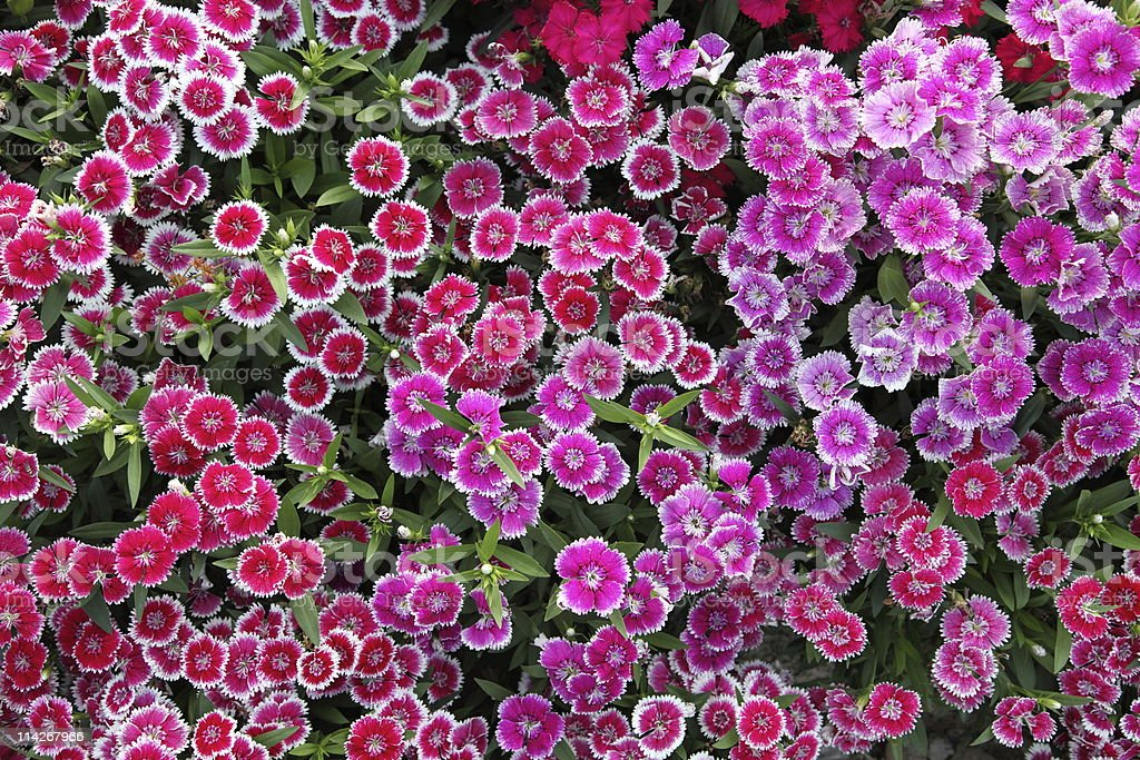 Blooming pink Dianthus stock photo