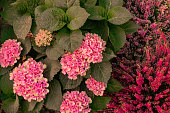 Blooming pink flowers hydrangea and pink, lilac Heather varieties Erica. Natural floral pink background