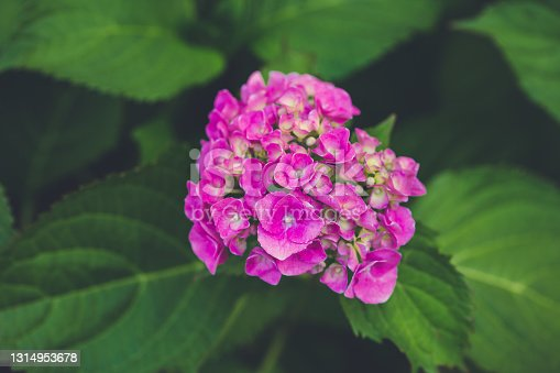 Blooming pink hydrangea or hortensia background. Summer garden. Close up, selective focus