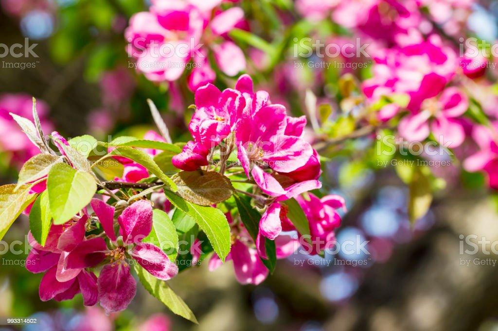 Blooming Pink Japanese Cherry Or Sakura Flowers In Europe Stock