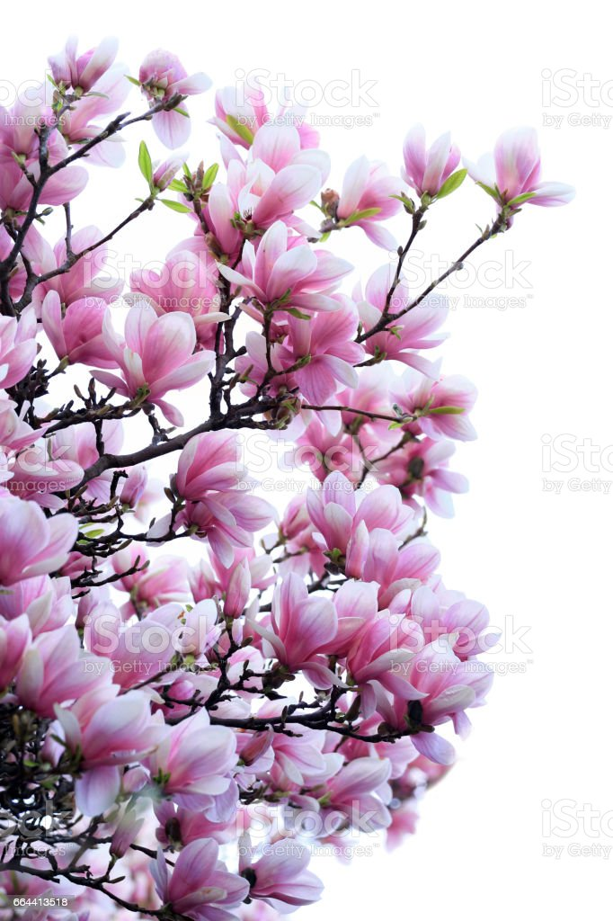 Blooming pink magnolias over white stock photo