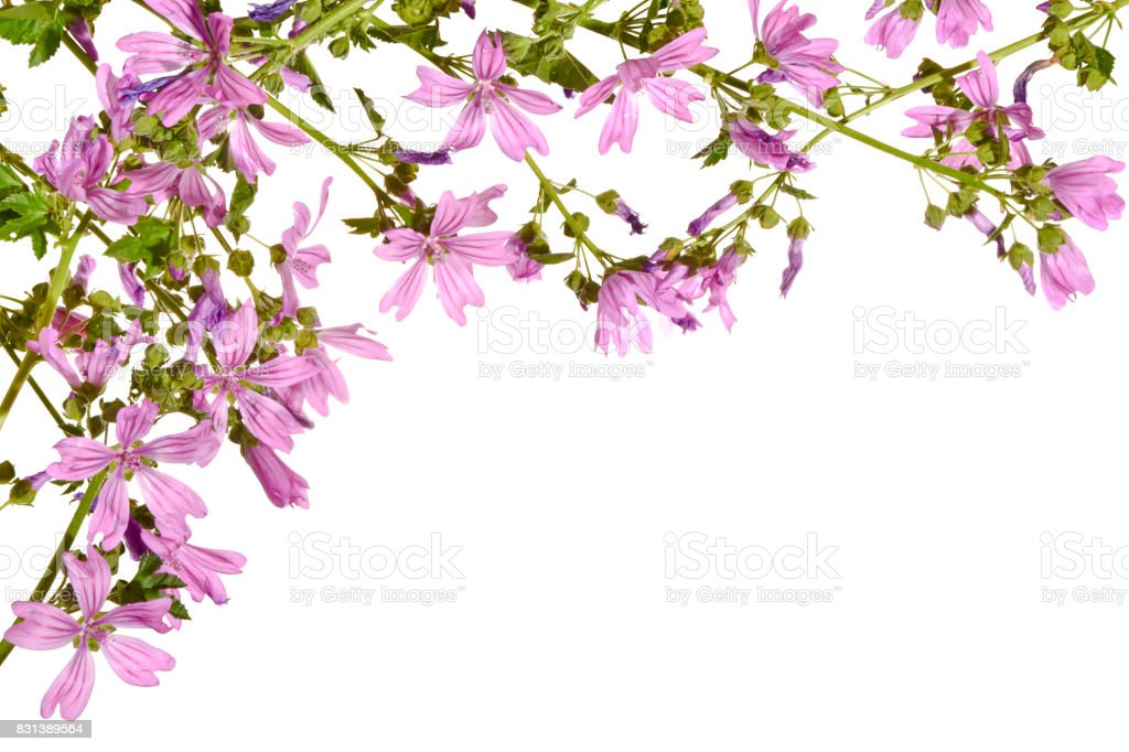 Blooming pink mallow isolated on a white background. stock photo