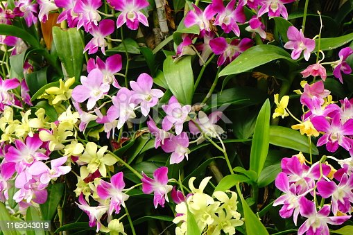 Orchid, Flower, Pink Color, White Background, Moth Orchid
