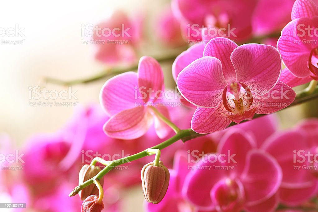 Blooming pink orchid on a green branch stock photo