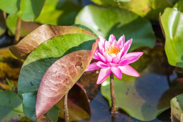 floresce a flor de lírio aberto vermelho-de-rosa com almofadas dentro na água da lagoa - organismo aquático - fotografias e filmes do acervo