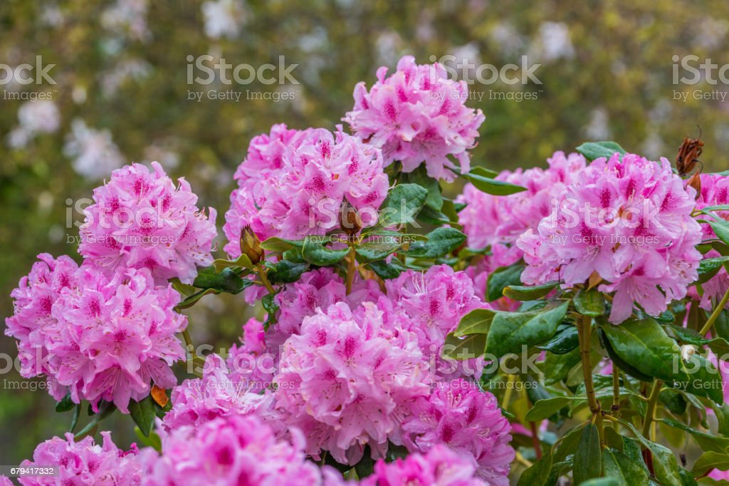 Blooming pink rhododendron in the garden in springtime. royalty-free stock photo